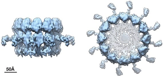 "Cryoelectron microscope tomography imaging reveals high-resolution side and top views of the viral RNA replication ""crown"" complex structure. COURTESY OF PAUL AHLQUIST"